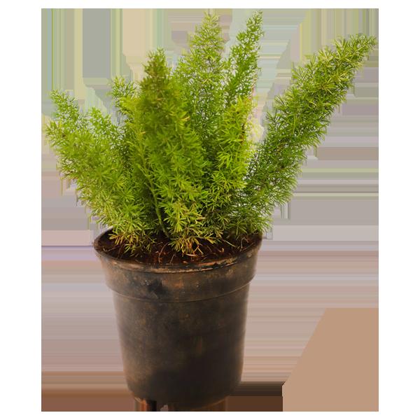 Asparagus Meyeri