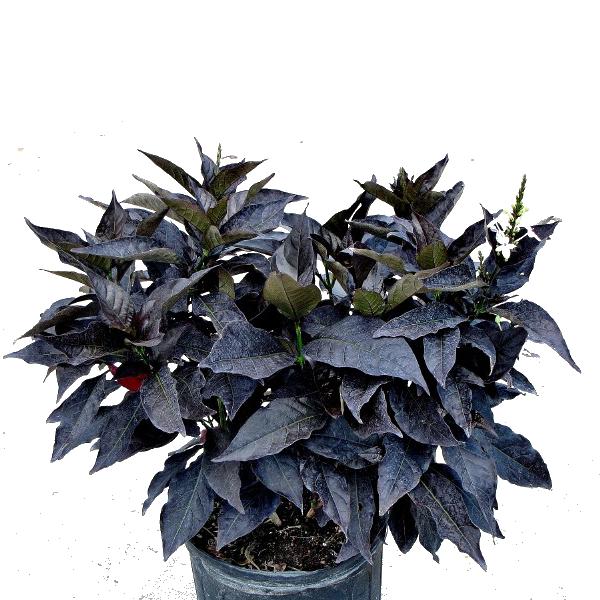 Eranthemum Nigrum, Black Kodia