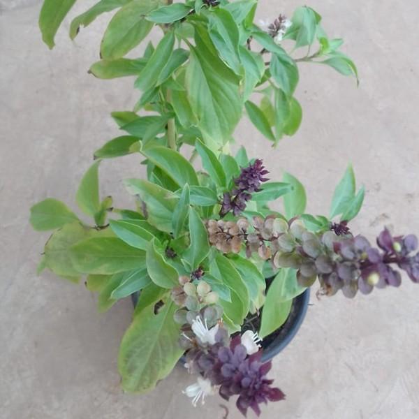 Origanum Majorana, Marjoram, Marwa  Plant