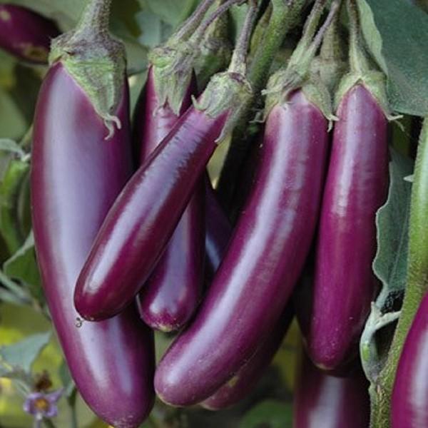 Brinjal Purple Long- Seeds(Per Packet)