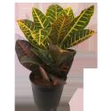Croton Verigatum Petra