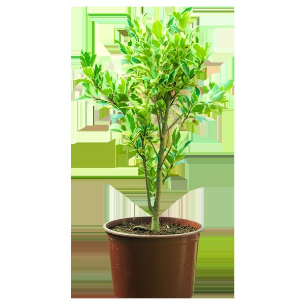 Ficus Safari