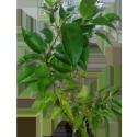 Juhi, Jasminum Auriculatum