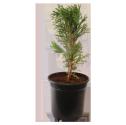 Juniperus Erecta
