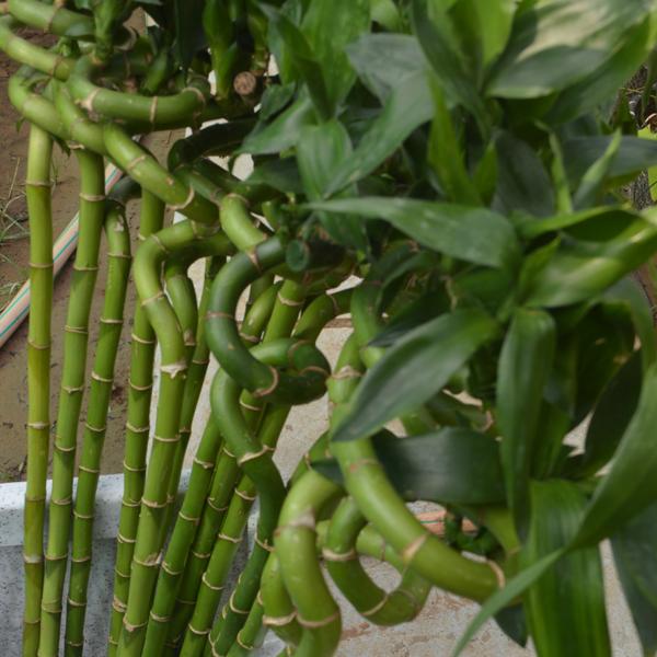 Lucky Bamboo- Spiral Stick