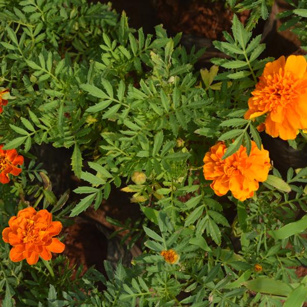 Marigold mixed, Tagetes erecta mixed