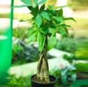 Pachira Aquatica, Pachira Money Tree