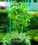 """""""Passiflora incarnata (Purple), Krishana Kamal, Rakhi Bel """""""