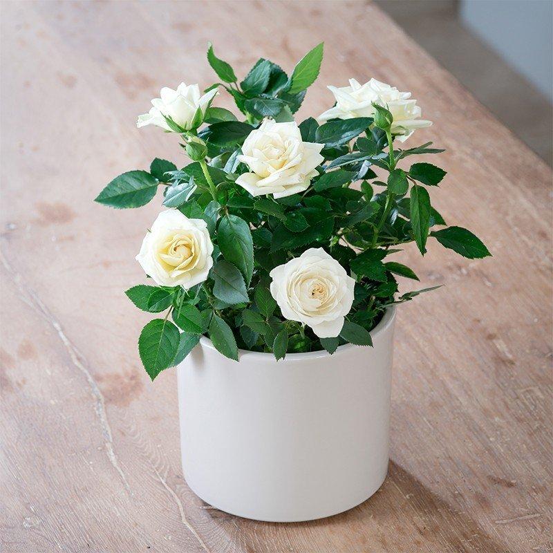 Summer Sona White Rose